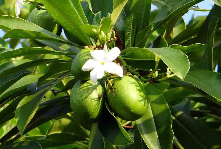World's Most Dangerous Tree- Cerbera Odollum