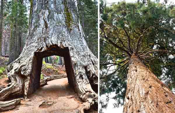 World Most Amazing Tree hindi - The Great Sequoia