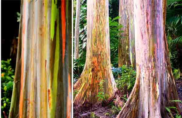 World Most Amazing Tree hindi - Rainbow Eucalyptus